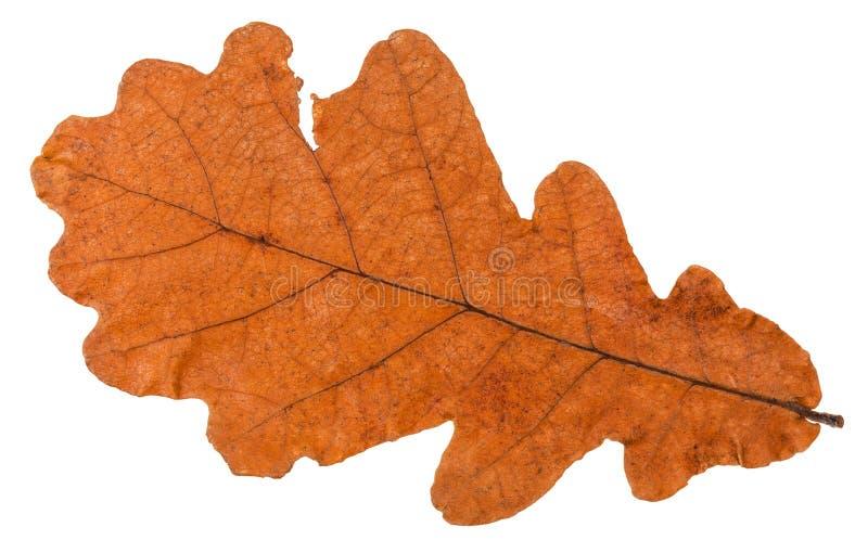 l'autunno ha asciugato la foglia della quercia isolata fotografia stock libera da diritti