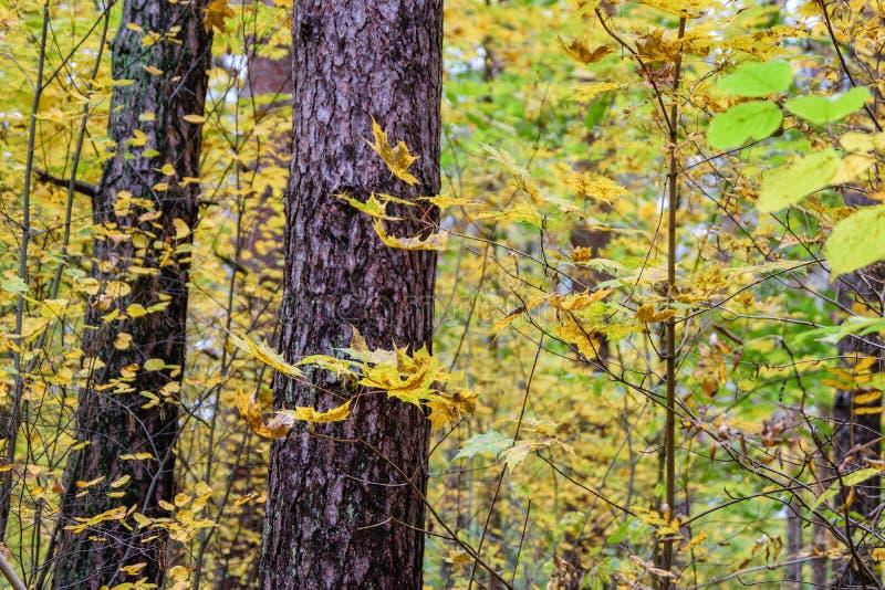 l'autunno ha colorato le foglie dell'albero nel parco immagini stock