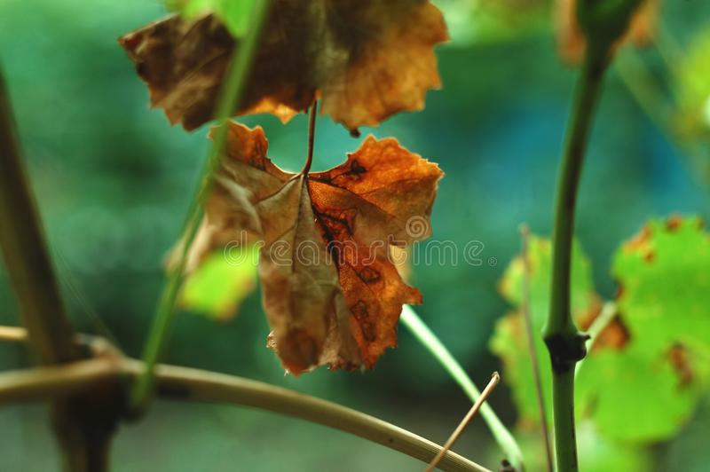 L'autunno ha macchiato le foglie dell'uva sui precedenti verdi Concetto del raccolto di autunno o malattie dell'uva fotografia stock libera da diritti