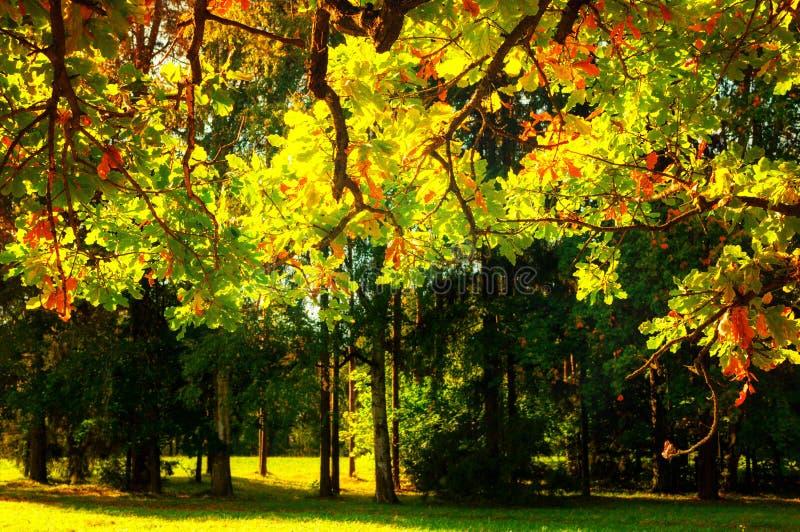 L'autunno lascia il fondo - ramo di quercia di autunno con fogliame arancio acceso dal sole Paesaggio pieno di sole di autunno fotografie stock