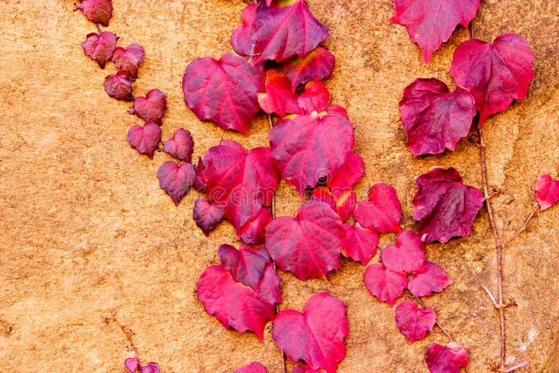 L'autunno modella l'edera rossa del ~ che si arrampica su una parete dello stucco immagini stock libere da diritti