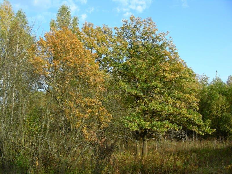 L'autunno nella foresta sul giallo di caduta degli alberi va immagine stock