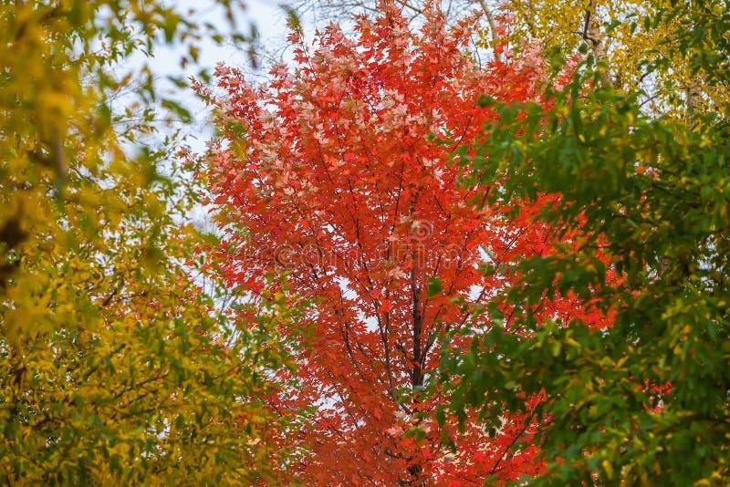 L'autunno variopinto vivo scenico e bello si ramifica gli alberi di tre colori luminosi, il rosso, il giallo, verde su fondo del  fotografia stock libera da diritti