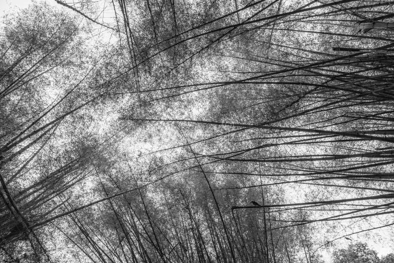 L'auvent a formé par les arbres en bambou grands en noir et blanc image libre de droits