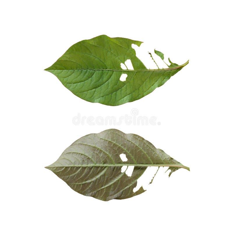 L'avant et le dos d'une feuille verte image libre de droits