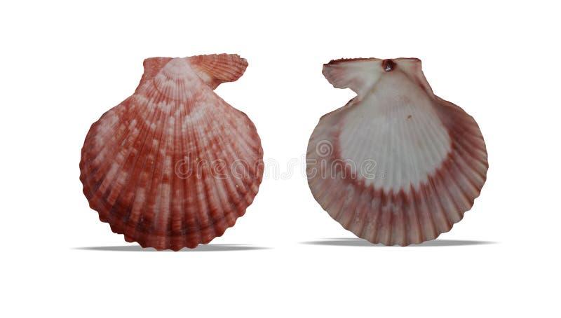 L'avant et le dos de coquille de mer avec le fond blanc wallpaper, photographie stock libre de droits