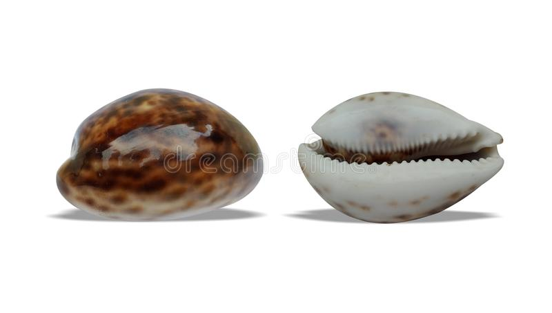 L'avant et le dos de coquille de mer avec le fond blanc wallpaper, images libres de droits