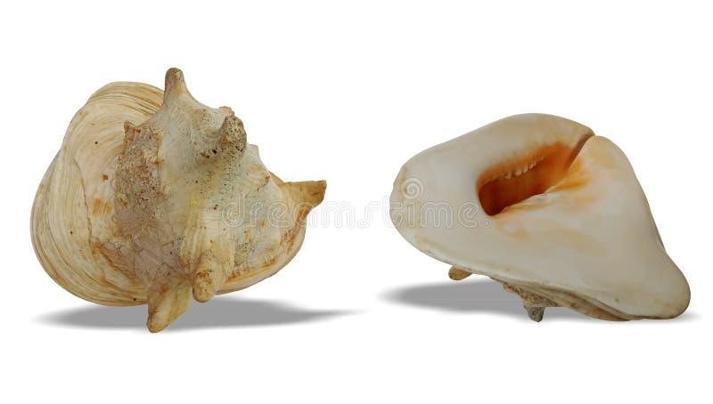 L'avant et le dos de coquille de mer avec le fond blanc wallpaper, photo stock