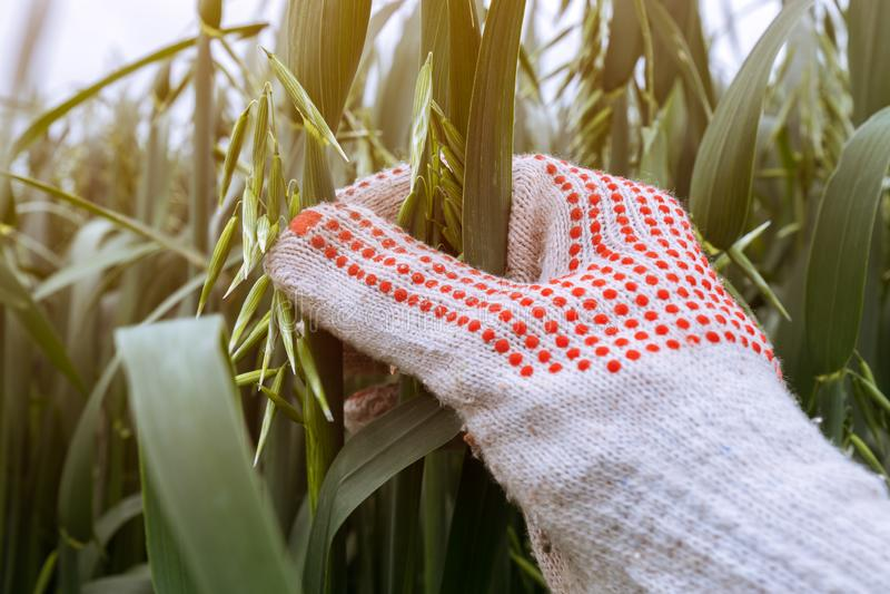 L'avena d'esame dell'agricoltore pota nel campo, fine su della mano immagine stock