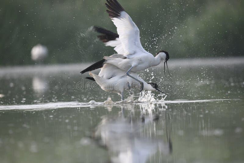 L'avocetta pezzata degli adulti sta combattendo a vicenda l'acqua sta spruzzando nell'aria immagini stock