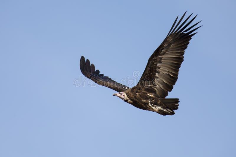 L'avvoltoio incappucciato sale in cielo blu che cerca l'alimento immagine stock