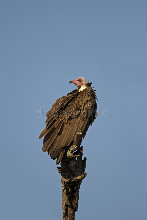 L'avvoltoio White-headed si è appollaiato sulla filiale guasto immagini stock
