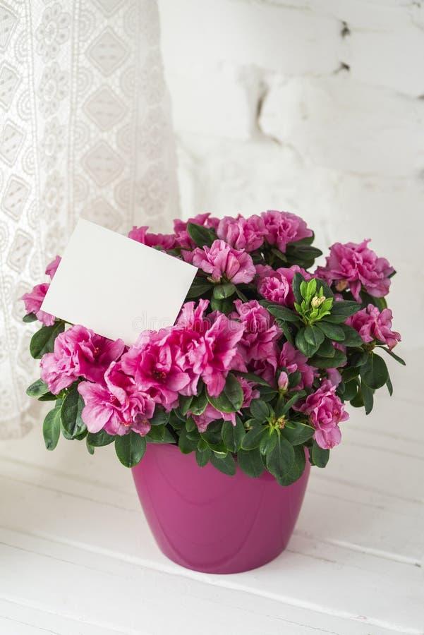 L'azalea di fioritura nella carta in bianco del vaso da fiori rosa dispone liberamente per testo fotografie stock