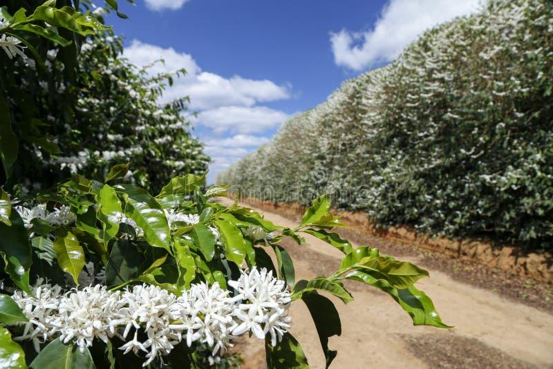 L'azienda agricola ha fiorito la piantagione di caffè nel Brasile fotografie stock
