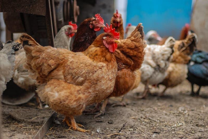 L'azienda agricola naturale della famiglia chiken vicino sul ritratto fotografia stock libera da diritti
