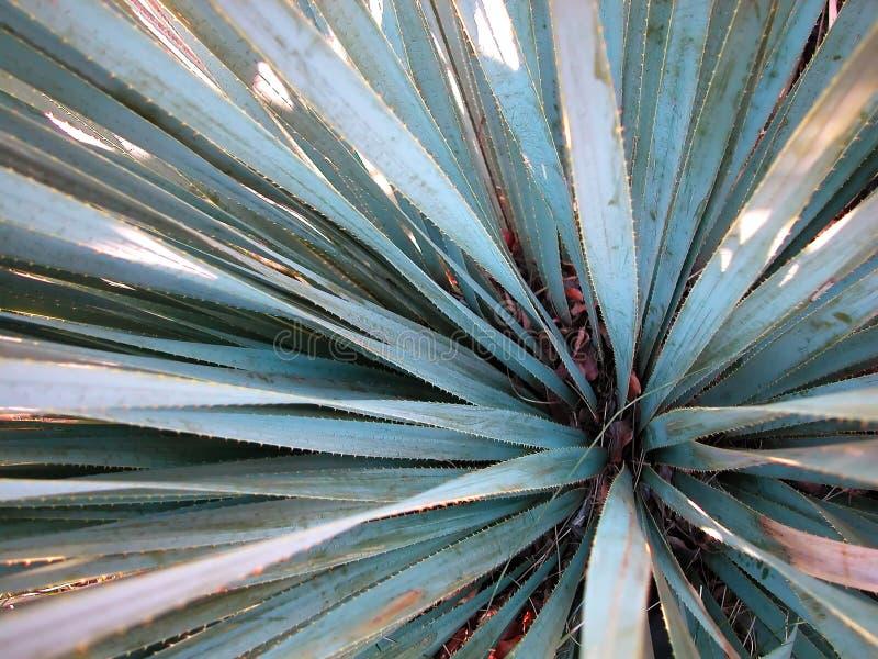 L'azzurro Agave-Si chiude in su fotografie stock libere da diritti