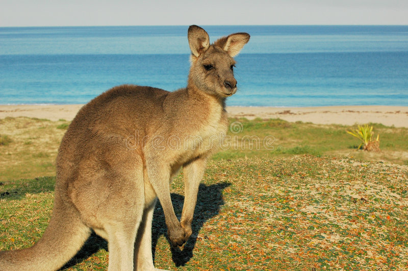 L'Canguro-Australia rossa fotografia stock libera da diritti