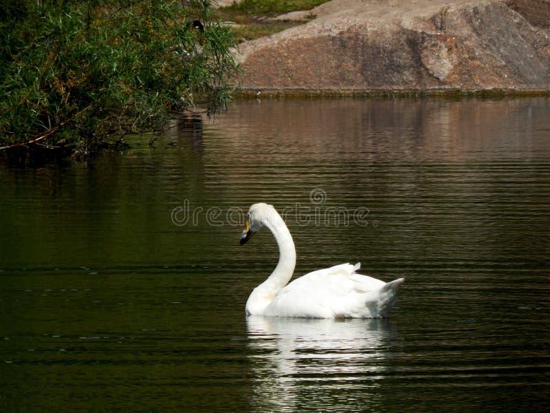 L cisne bonita branca nada em uma lagoa na tarde do verão fotografia de stock royalty free