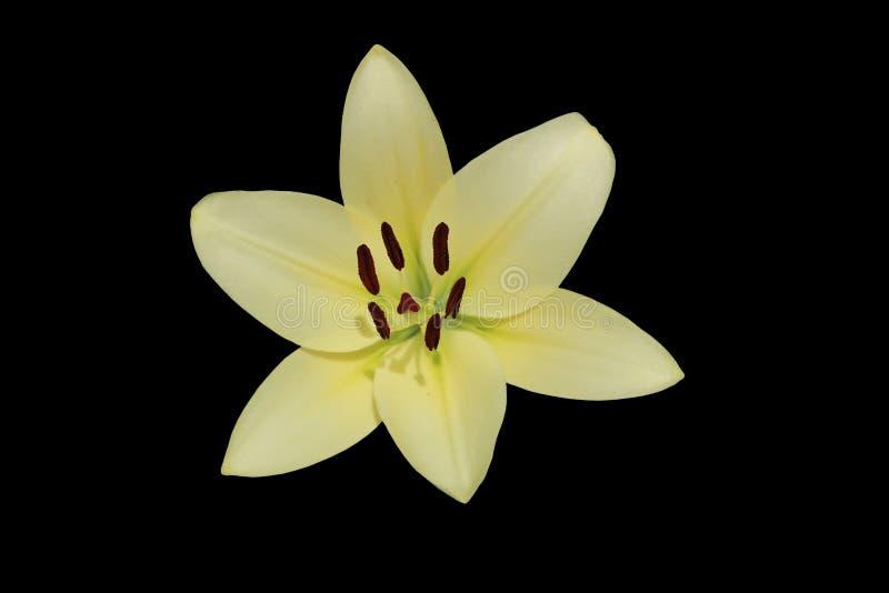 L A De hybride geïsoleerde bloem van de de Koeriers` grote wit-kalk van Lilie ` royalty-vrije stock fotografie