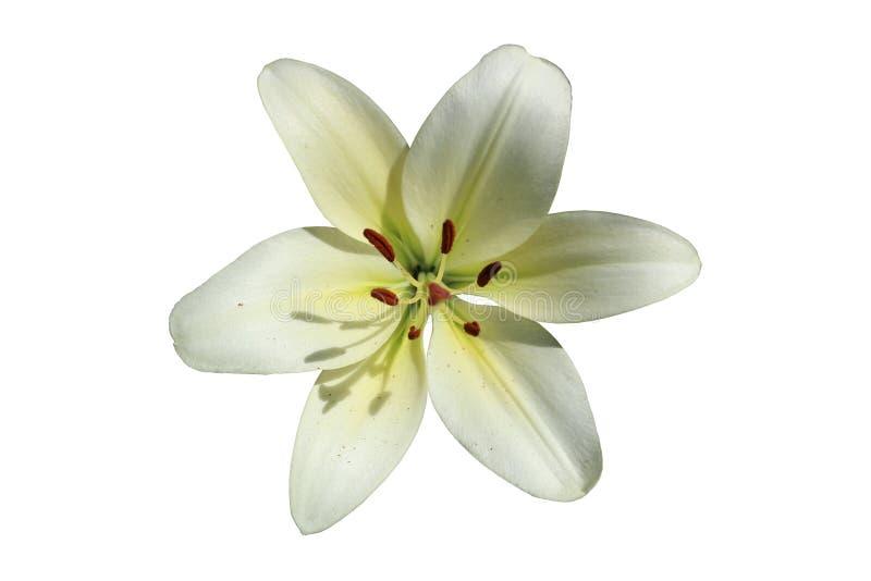 L A De hybride geïsoleerde bloem van de de Koeriers` grote wit-kalk van Lilie ` stock afbeeldingen