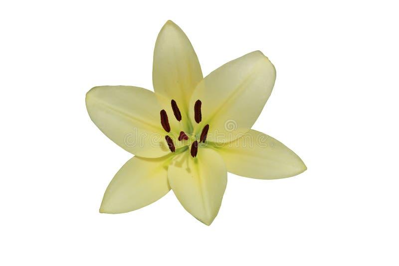 L A De hybride geïsoleerde bloem van de de Koeriers` grote wit-kalk van Lilie ` royalty-vrije stock afbeelding