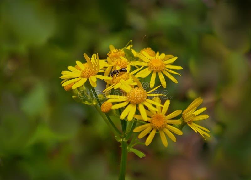 L'or de marguerite met en place la fleur - jaune - l'espace pour le texte images libres de droits