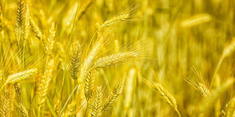 L'or de plan rapproché met en place le blé, campagne rurale photo libre de droits