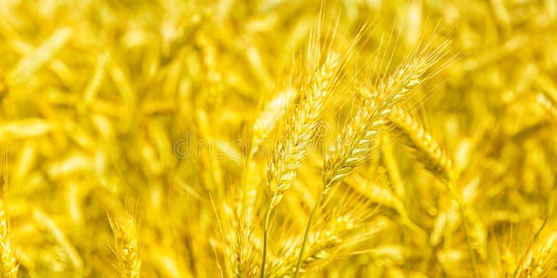 L'or de plan rapproché met en place le blé, campagne rurale images libres de droits