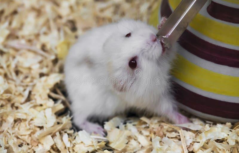 L'eau blanche de boissons de hamster du tube photo stock