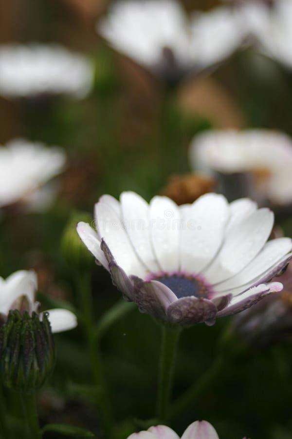 L'eau dans une fleur de marguerite photo libre de droits