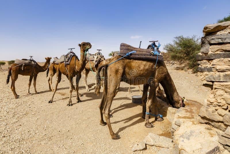 L'eau de boissons de chameaux photo libre de droits