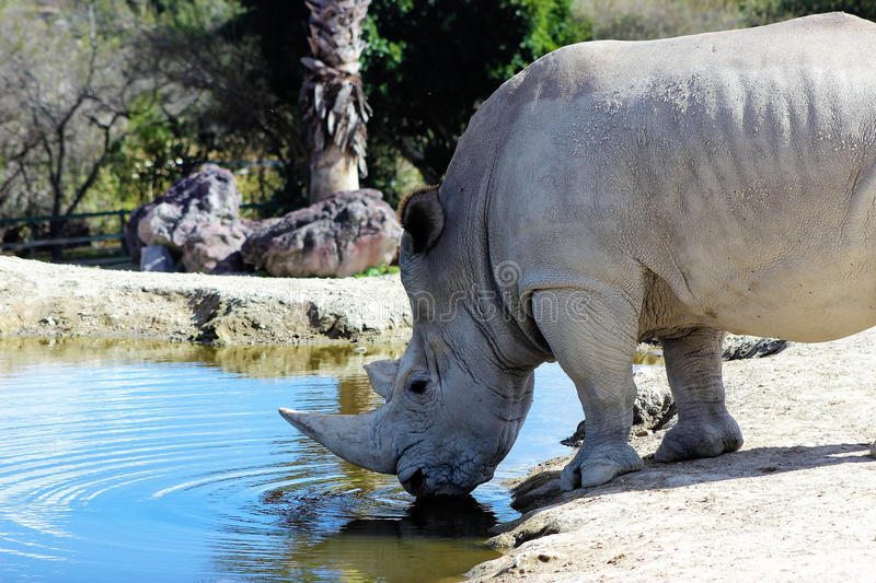 L'eau de boissons de rhinocéros photo libre de droits