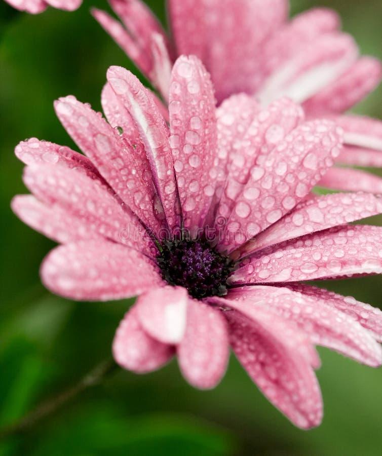 l'eau de fleur de baisses photographie stock