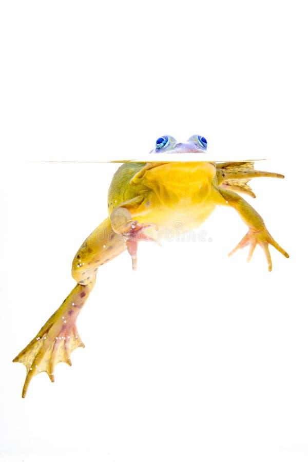 l'eau de grenouille images libres de droits