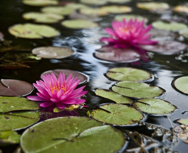 l'eau de lillies photo libre de droits