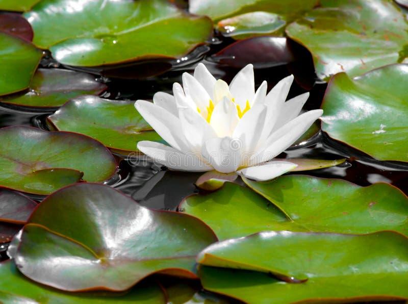 l'eau de lis de fleur de plan rapproché photographie stock