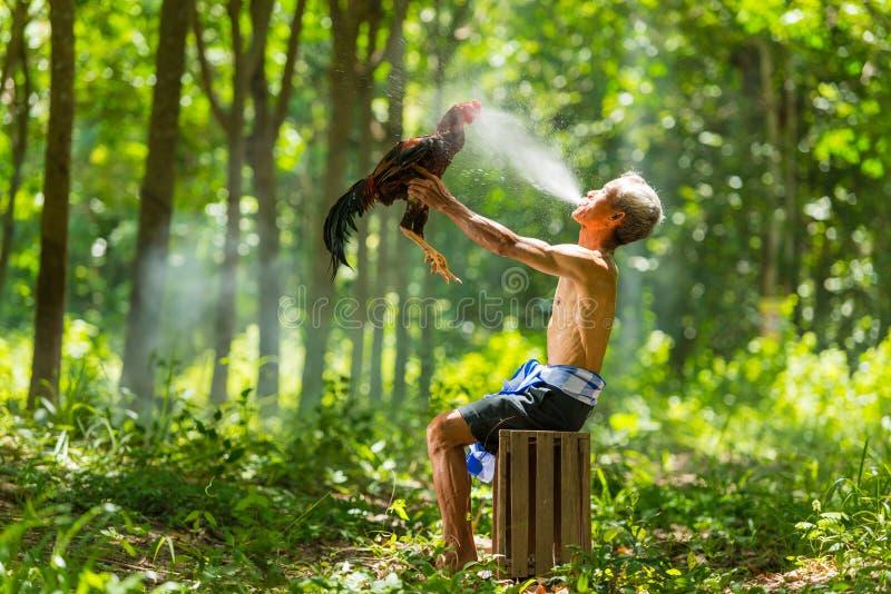 L'eau de pulvérisation rurale de vieil homme pour régénérer le coq de combat domestique photos libres de droits