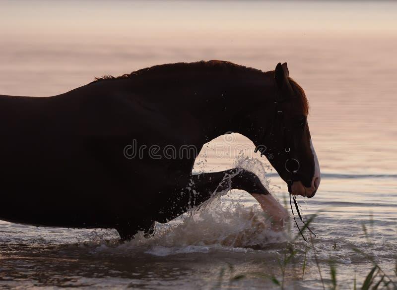 l'eau debout de cheval de châtaigne images libres de droits