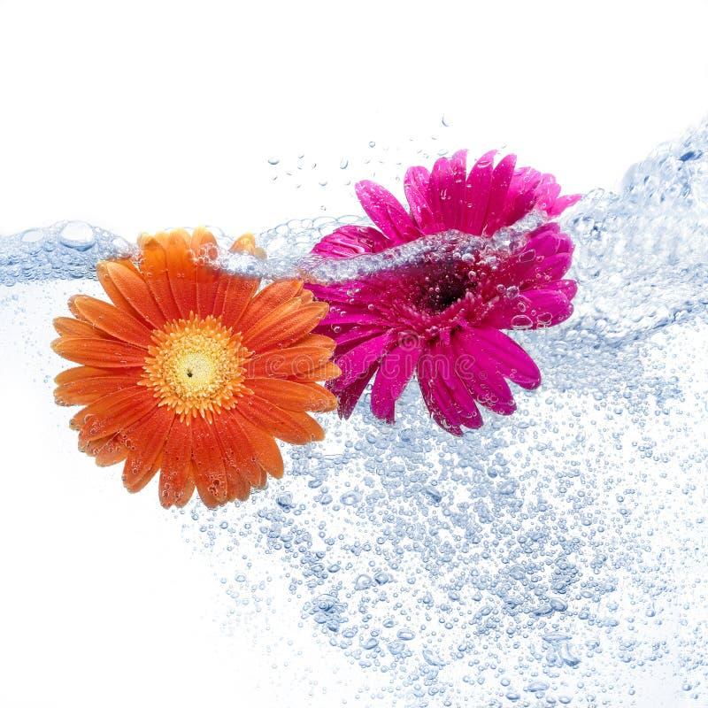 l'eau des marguerites deux photos stock