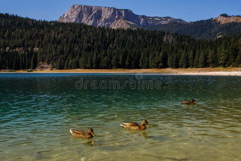 L'eau du lac ; for?t et montagnes de pin Fond de stup?faction avec la nature et le ducksTu photo stock