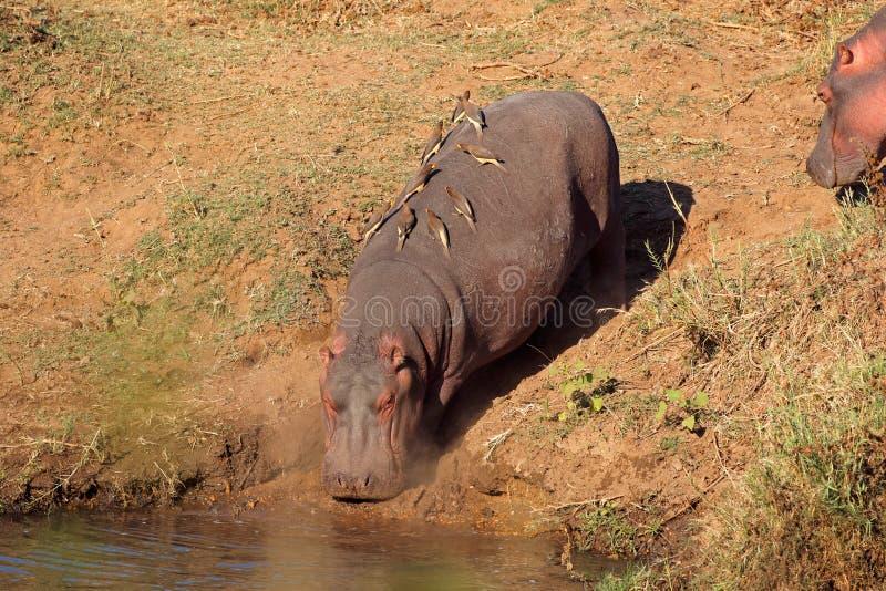 L'eau entrante d'hippopotame - parc national de Kruger photographie stock libre de droits
