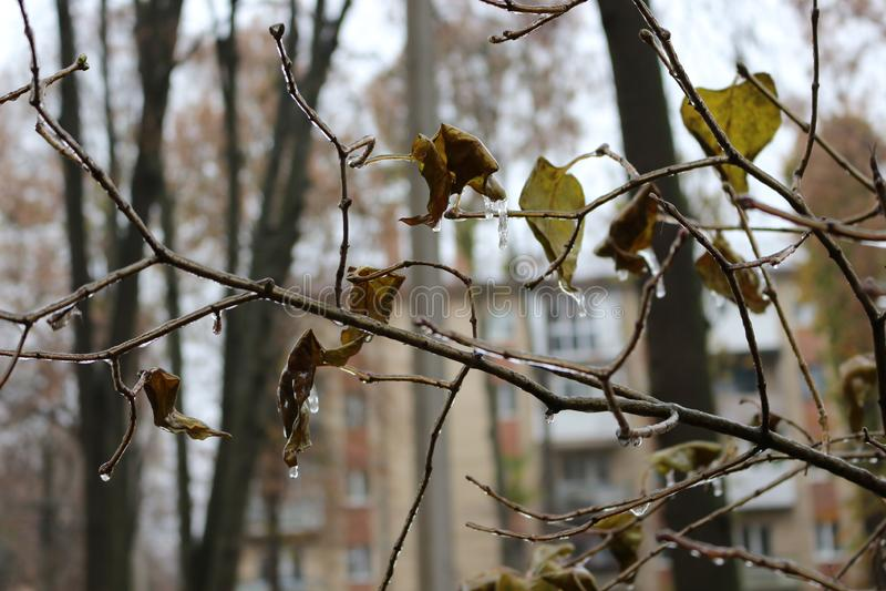 L'eau est gelée sur les feuilles après la pluie images libres de droits
