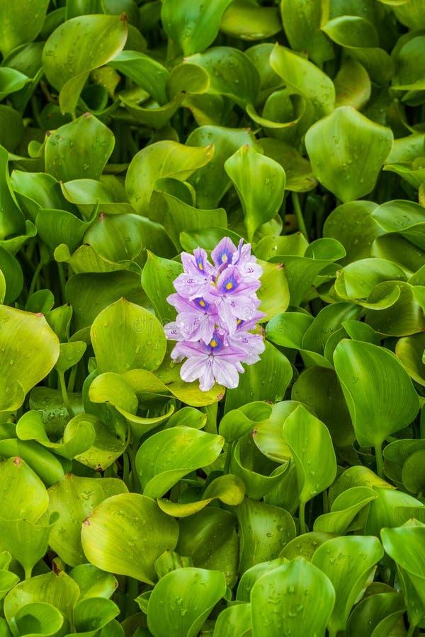 L'eau fleurissante Hyacinth Eichhornia Crassipes flottant dans un étang photos stock