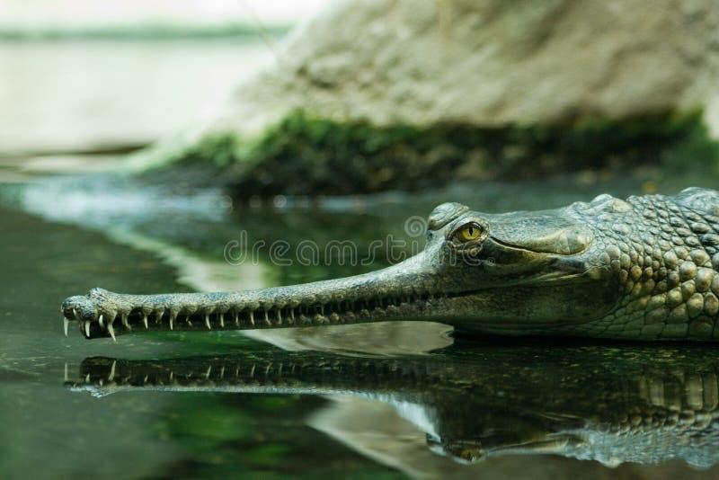 l'eau gavial photographie stock libre de droits