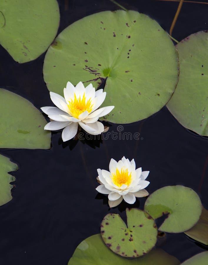 Download L'eau Lillies sur un étang photo stock. Image du waterlily - 87704270
