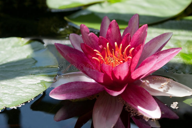 L'eau lilly image stock
