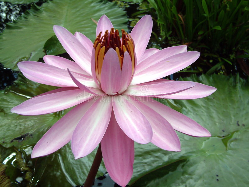 L Eau Lilly Photo stock