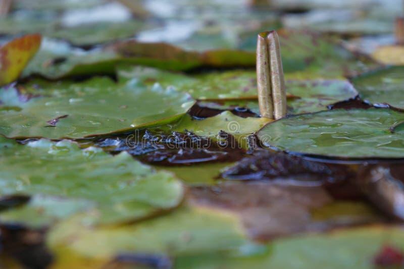 L'eau Lilly Nymphaeaceae après fond brouillé par pluie images stock