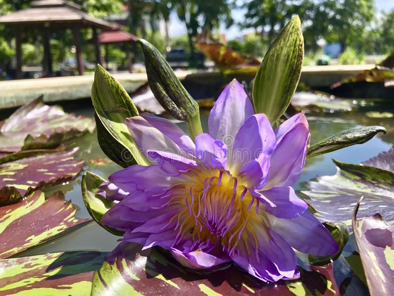 L'eau Lily Lotus photo libre de droits