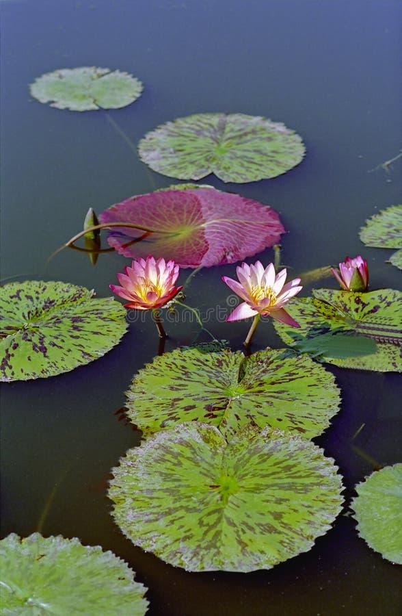 L'eau Lilys image stock